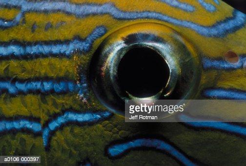 Eye of Grunt Fish : Stock Photo