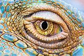 Close-up of the eye of a Green Iguana (Iguana iguana).