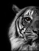 Tiger Portrait with black background - Black and White