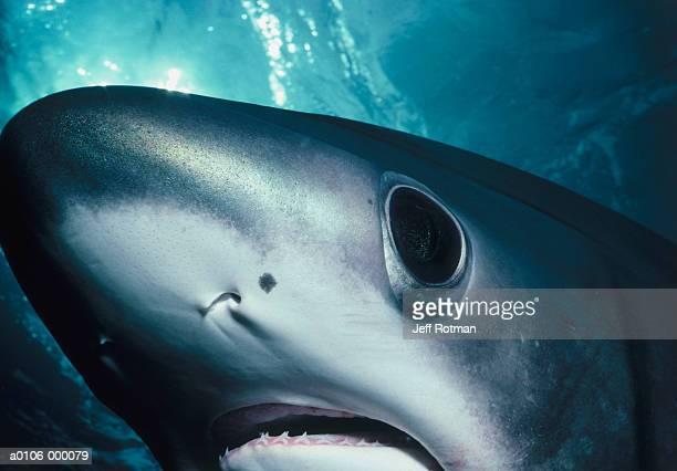 Eye of Thresher Shark
