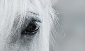 Eye of white mustang. Black and white photo.