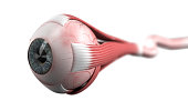 Eyeball with muscles and optic nerve