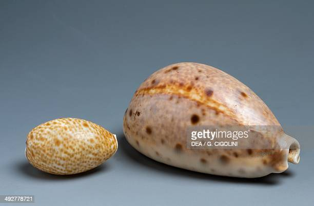 Eyed cowry shells Littorinimorpha