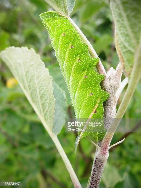 Eyed Hawk-Moth caterpillar (Smetheris ocellata)