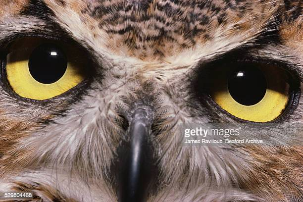 Eyes of a Great Horned Owl