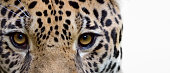 close-up of a jaguar (Panthera onca) on white background
