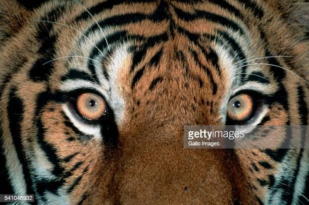 Eyes of Bengal Tiger