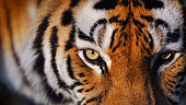 close-up of a siberian tiger