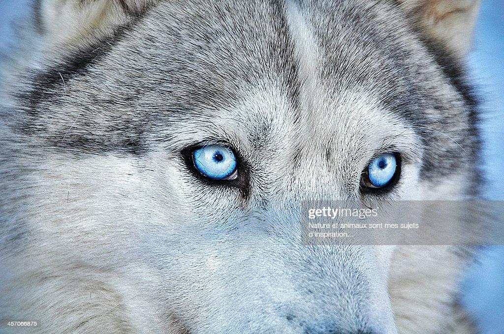 Eyes polar...Husky