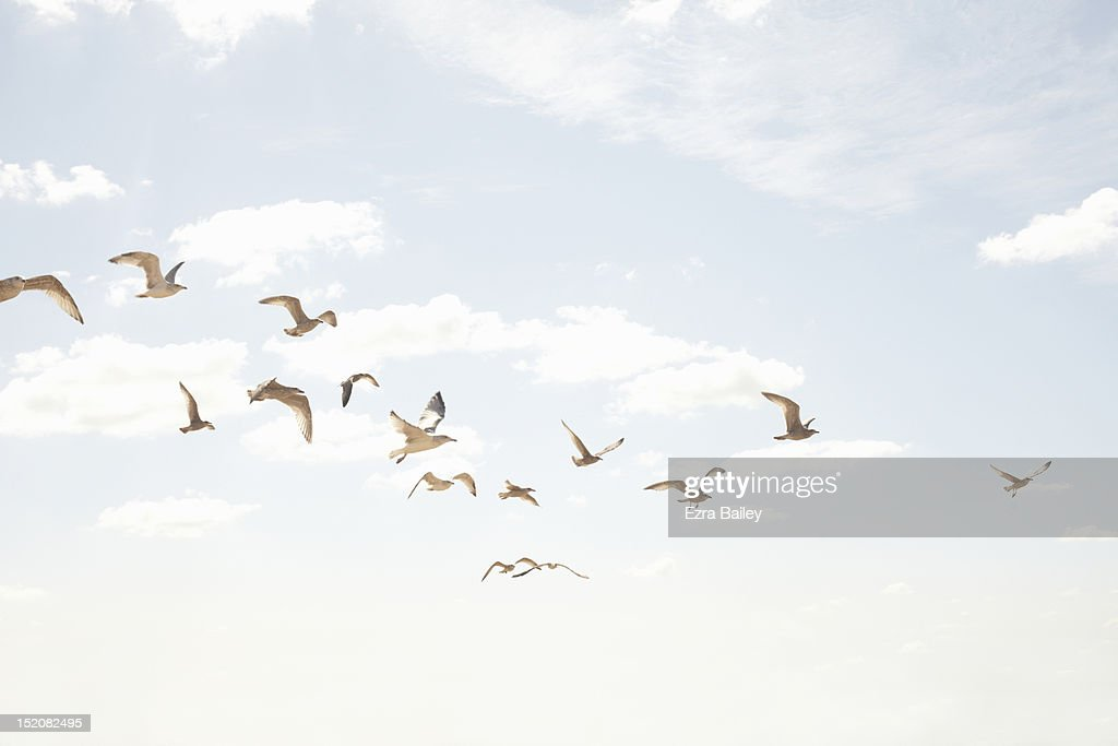 Sea guls in flight