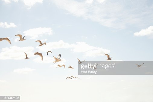 Sea guls in flight : Stock Photo