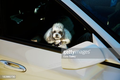pet dog in a car : Foto de stock