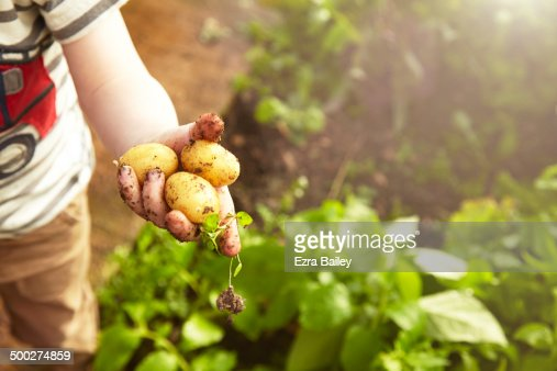 Young boy holding home grown potatoes.