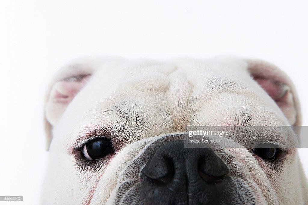 Face of a bulldog