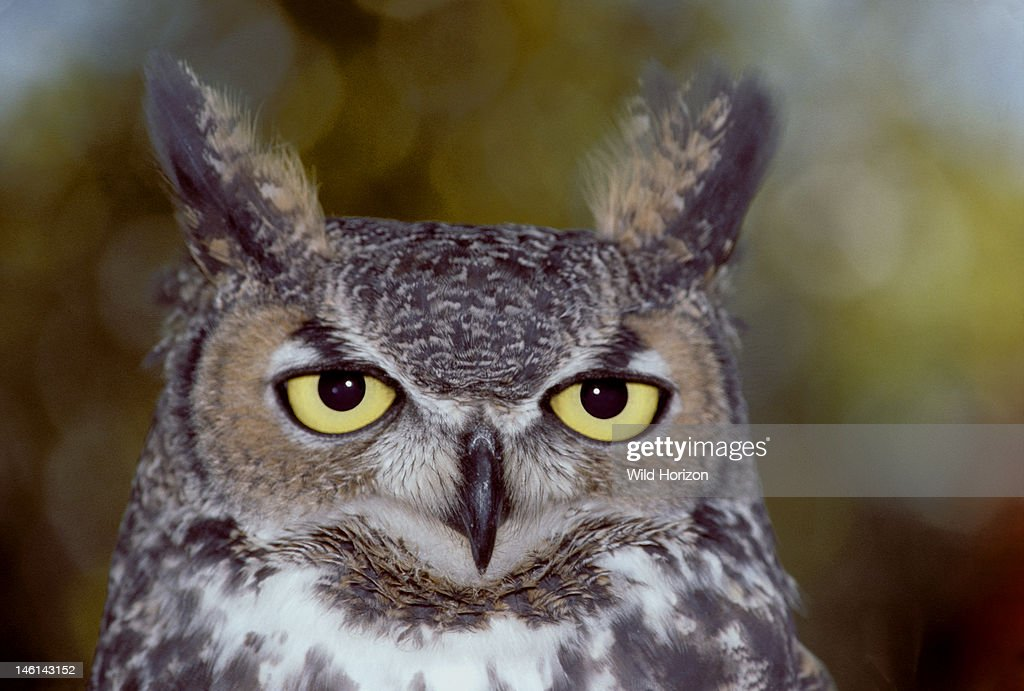 Face of a great horned owl Bubo virginianus ArizonaSonora Desert Museum Tucson Arizona USA Photographed under controlled conditions