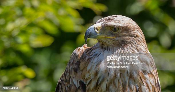 Face of an Eastern Imperial Eagle