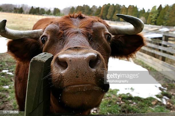 Face of Bull mit Hörnern auf der Farm