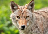 portrait of coyote in nature during summer