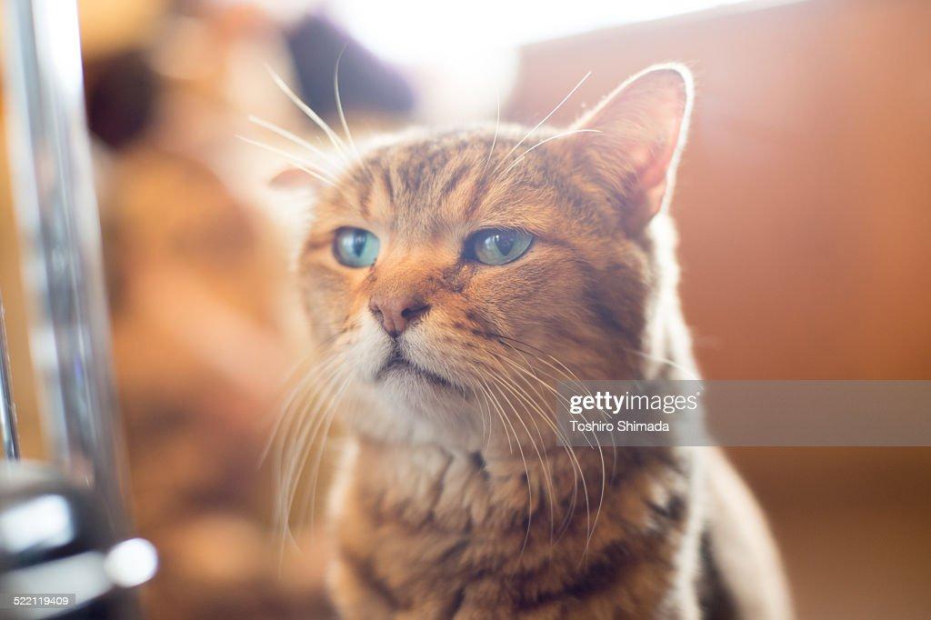 Face of Egyptian mau