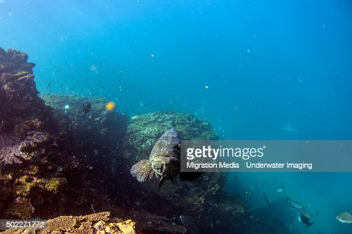 Face off Potato Grouper