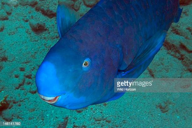 Blue parrot fish stock photos and pictures getty images for Blue parrot fish