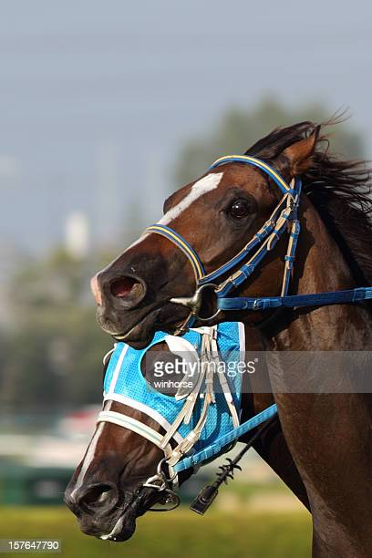 Face view of Two brown racing horses