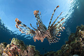 Facial view of a lionfish showing its spines, Komodo National Park, Indonesia.