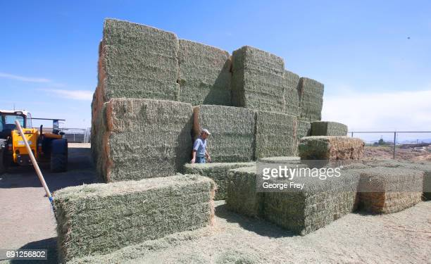 Facility manager Heath Weber walks through large bails of hay that feed several hundred wild horses at a BLM holding/adoption facility after being...