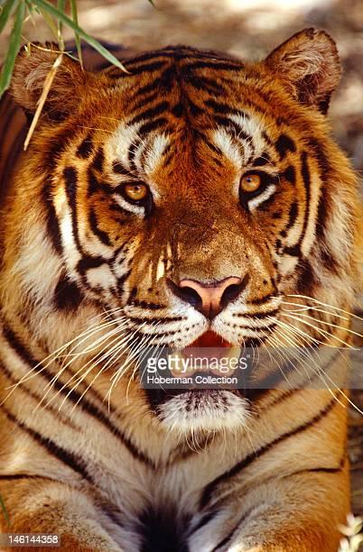 Facing Bengal Tiger India