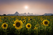 Facing Sunflowers