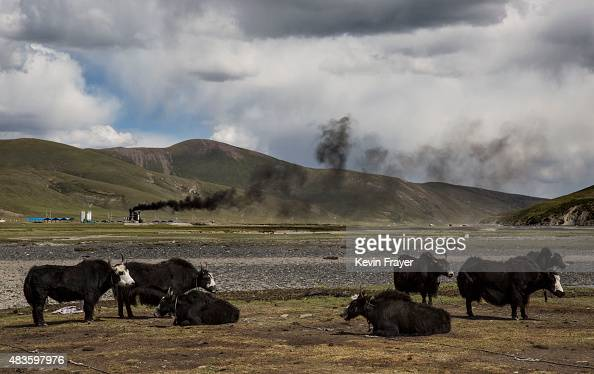 A factory can be seen in the background as a herd of yak stand in the grasslands at a Tibetan nomadic summer grazing area on July 23 2015 on the...