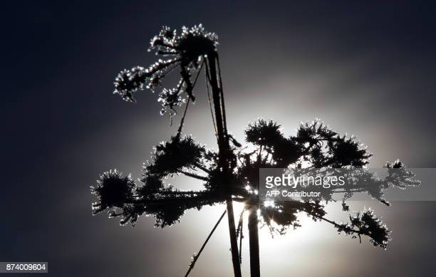 A faded plant is covered in snow crystals glistening in the backlight of the sun on November 14 2017 near Friesenried southern Germany / AFP PHOTO /...