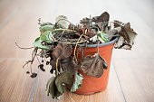 faded strawberry plant