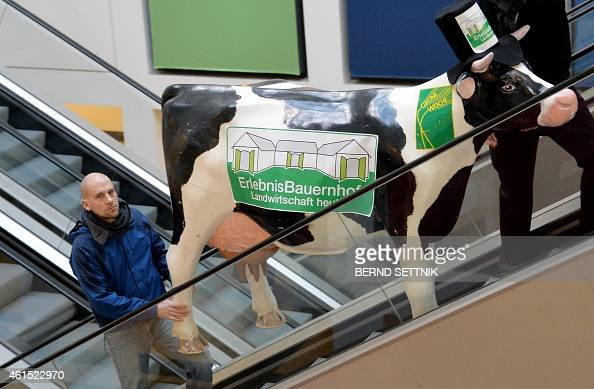 Fair workers transport the model of a cow on moving stairs as preparations are under way for the 'Gruene Woche' agricultural fair on January 14 2015...