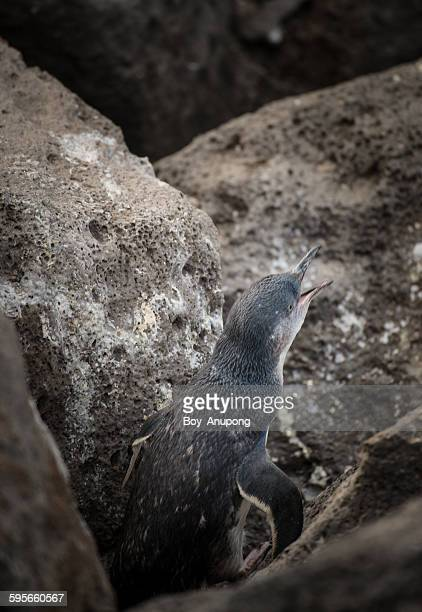 Fairy penguin at St.Kilda beach