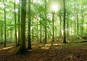 Fairytale Forest - Sunbeams in Natural Beech Tree Forest, Rügen Island, Germany