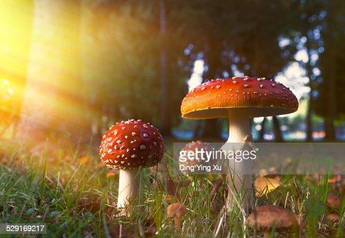 Fairy-tale Mushroom in Golden Light