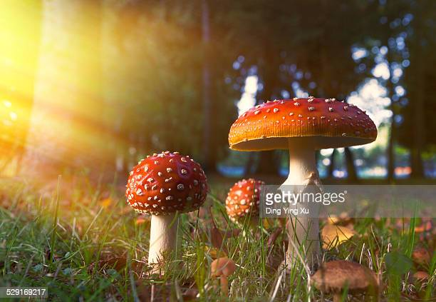 Fairy-tale Mushroom in Golden Light