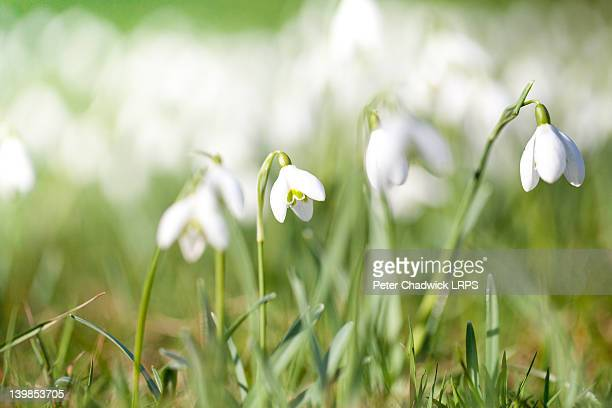 Faithful and cheerful snowdrops on flowers