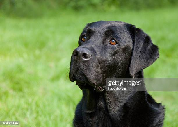 Faithful Labrador