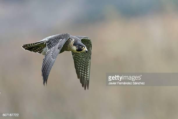 Falco peregrinus. A peregrine falcon flying.