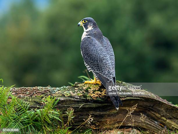 Falco peregrinus. A peregrine falcon perched on a log in a forest clearing.