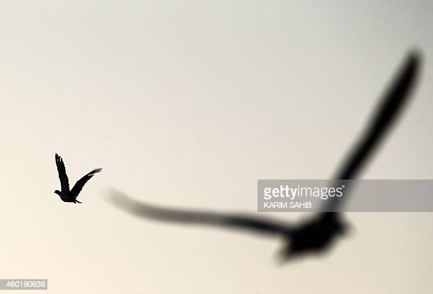 A falcon flies to catch a houbara bustard during a falconry competition part of the 2014 International Festival of Falconry in Hameem 150km west of...