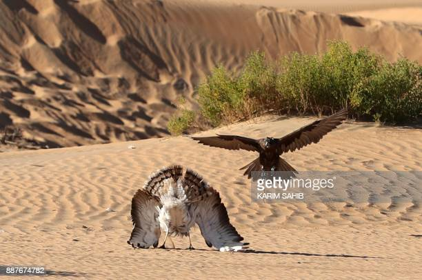 A falcon hunts an Outarde houbara bird during the 4th International Festival of Falconry in the Ramah Area of alAin on December 7 2017 The festival...