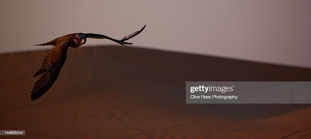 Falcon : Stock Photo
