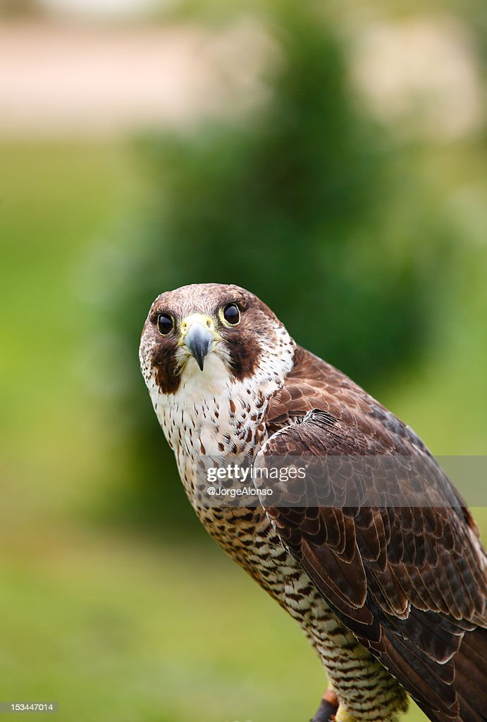 Falcon : Stock Photo