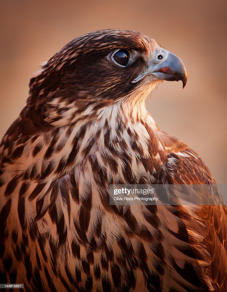 Falcon profile