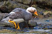 Falkland Dampfschiffente Männchen auf Carcass Island