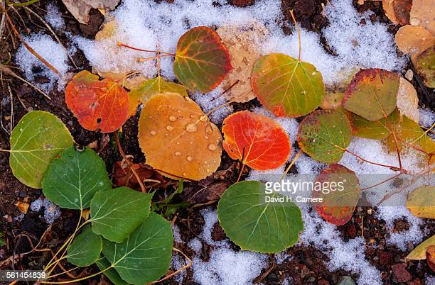 Fall Color Aspen Leaves, Utah