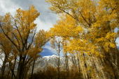 Fall colors fill trees in Round Valley November 19 2003 in the eastern Sierra Nevada Mountains near Bishop California Snow forecast for later this...